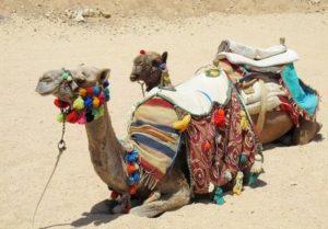 Kamele als Brautpreis - Tuareg