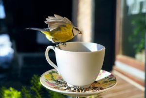 Blaumeise frisst bei Sonneschein Futter aus einer Tasse im Garten